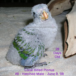 Pionus Parrot's Website - Male Coral Billed Pionus